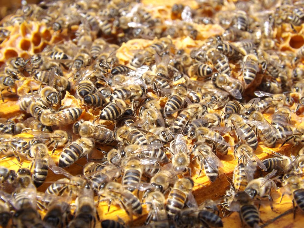 Swarm of Honey Bee