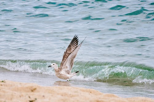 A Vega Gull on the Beach