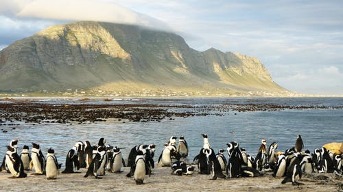 A Huddle of African Penguins Along the Shore