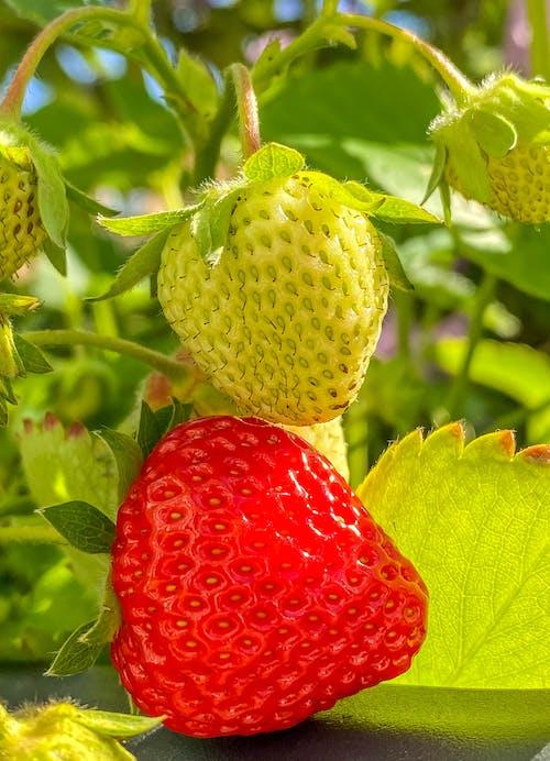 Foto stok gratis beri, beri, buah, buah