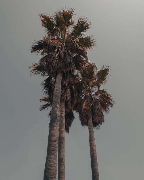 From below of tall majestic trunks of palms with fresh green leaves under cloudy gray sky