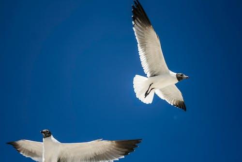 Black Headed Gulls Flying in Sky