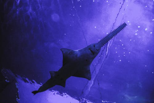Photo of a Sawfish in Blue Water