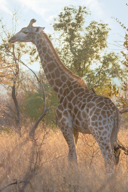 Základová fotografie zdarma na téma Afrika, divočina, divoký, keř