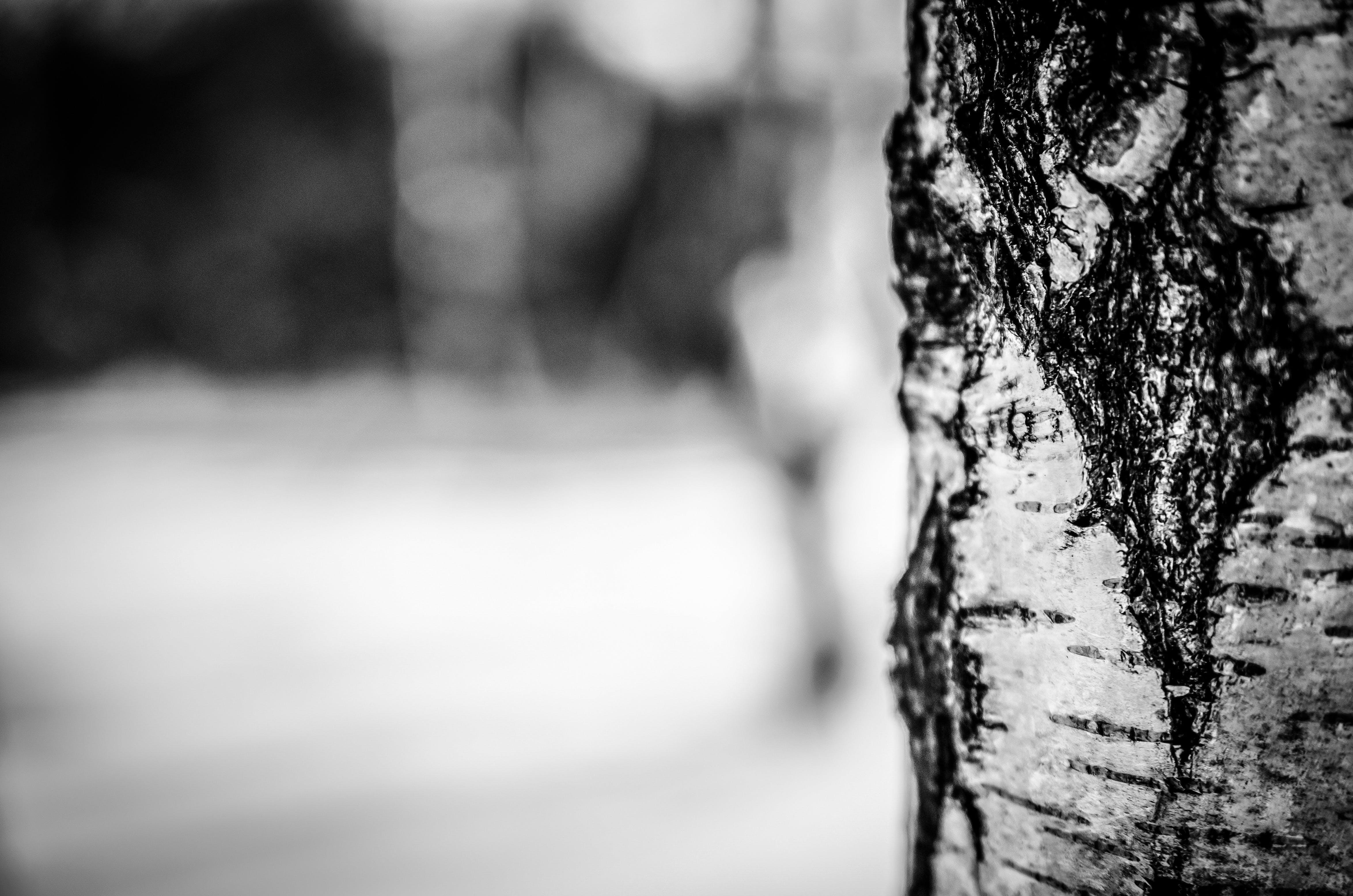 Imagine de stoc gratuită din alb-negru, buștean, fotografie de aproape, lătrat