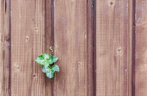 Fotobanka sbezplatnými fotkami na tému brečtan, dosky, drevená doska, drevená stena