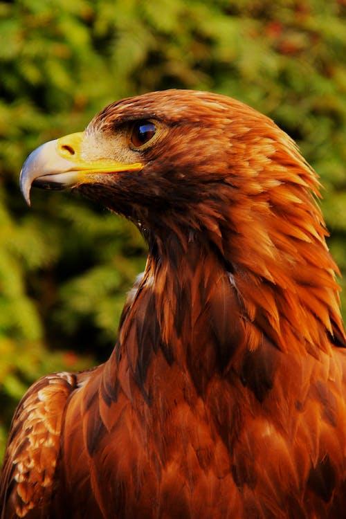 binatang, burung elang, elang