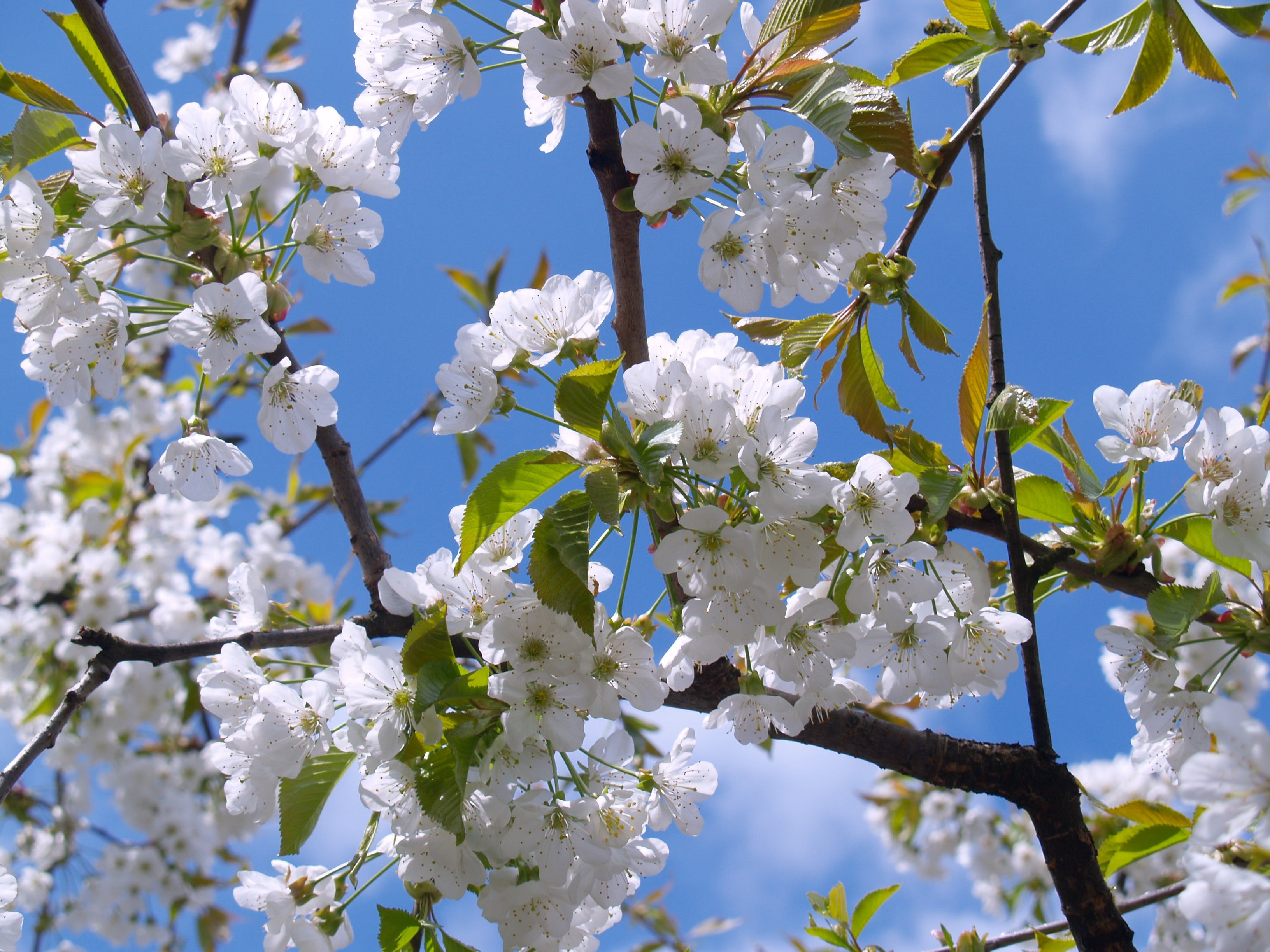 Free stock photo of flowers, spring, tree, white