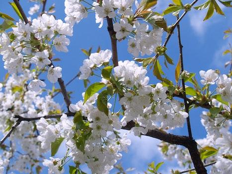 Free stock photo of flowers, spring, tree, white