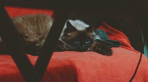Free stock photo of animal, blue-eyes, cat, feline