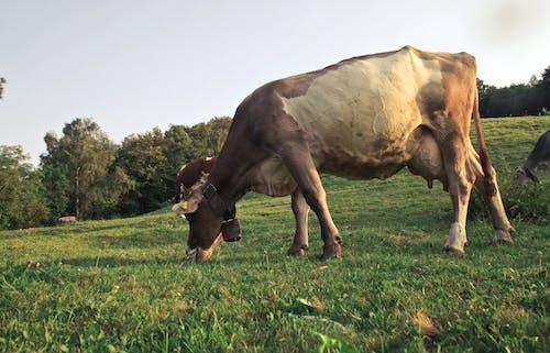 Immagine gratuita di agricoltura, all'aperto, animale, azienda agricola