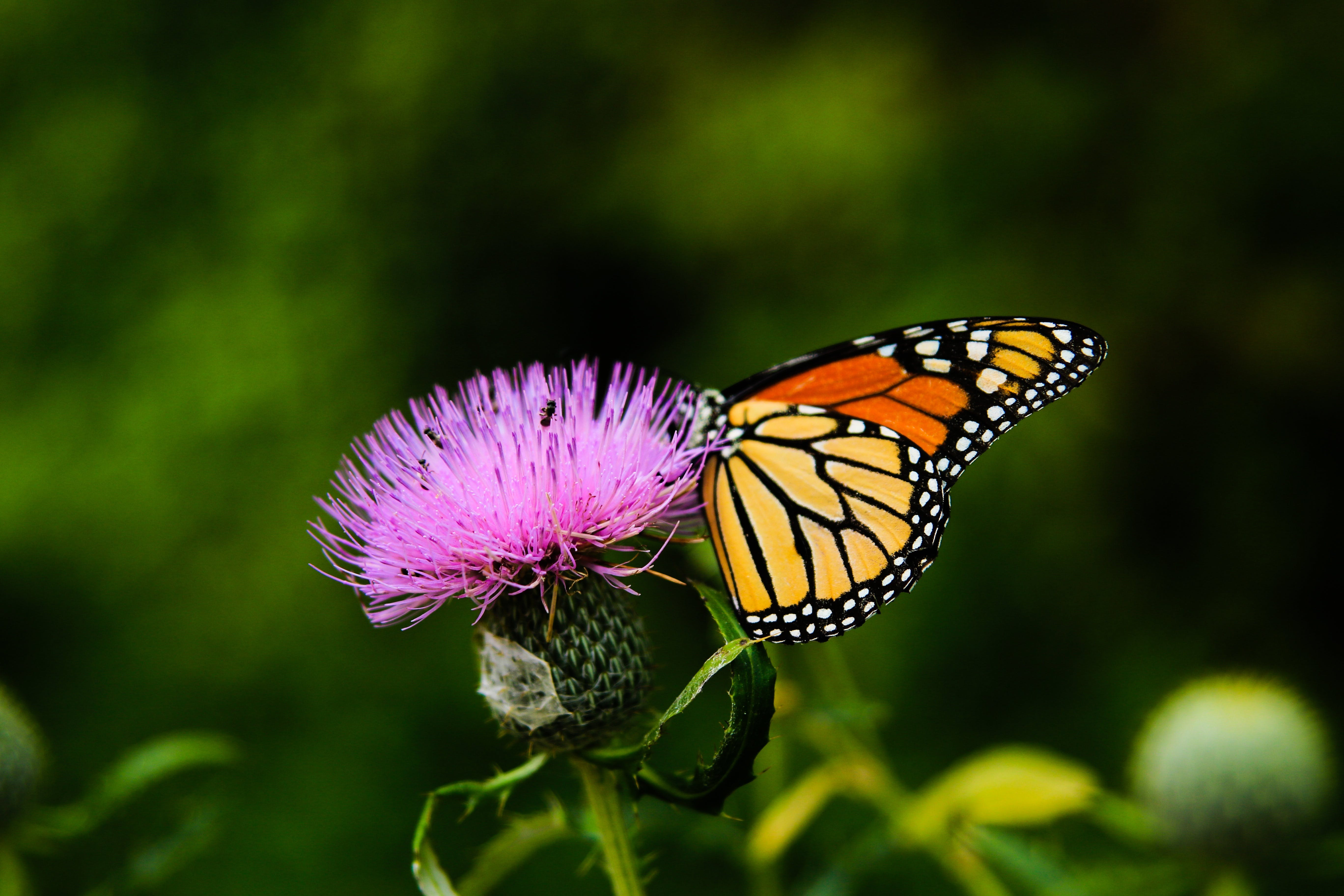 Free stock photo of butterfly, butterly on flower, colored, colorful