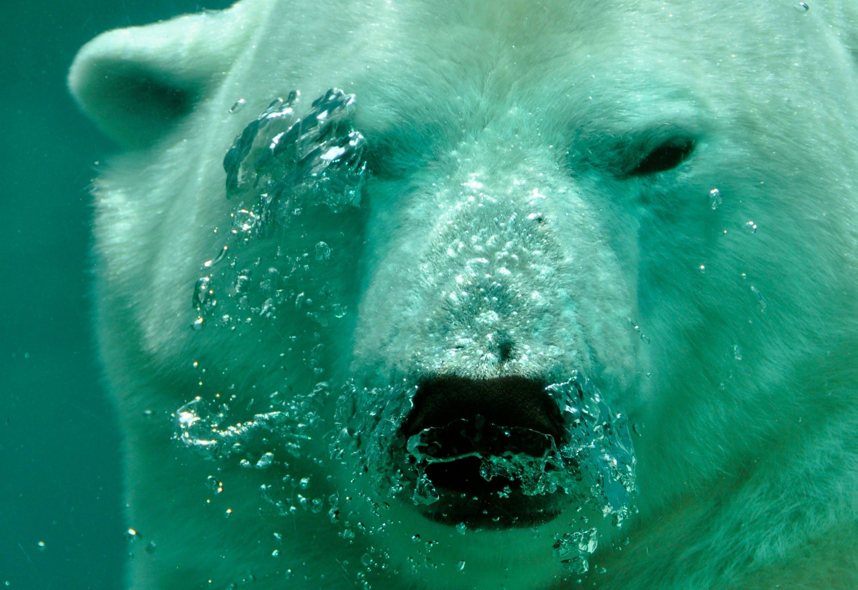 White Polar Bear Under the Sea