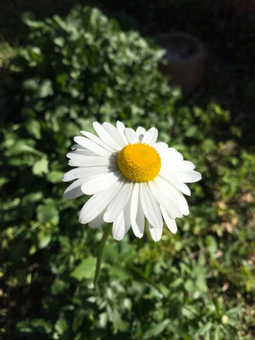 꽃, 데이지, 브라질, 플로어의 무료 스톡 사진