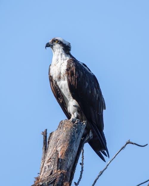 壮丽, 猛禽, 獵物, 獵鷹 的 免费素材图片