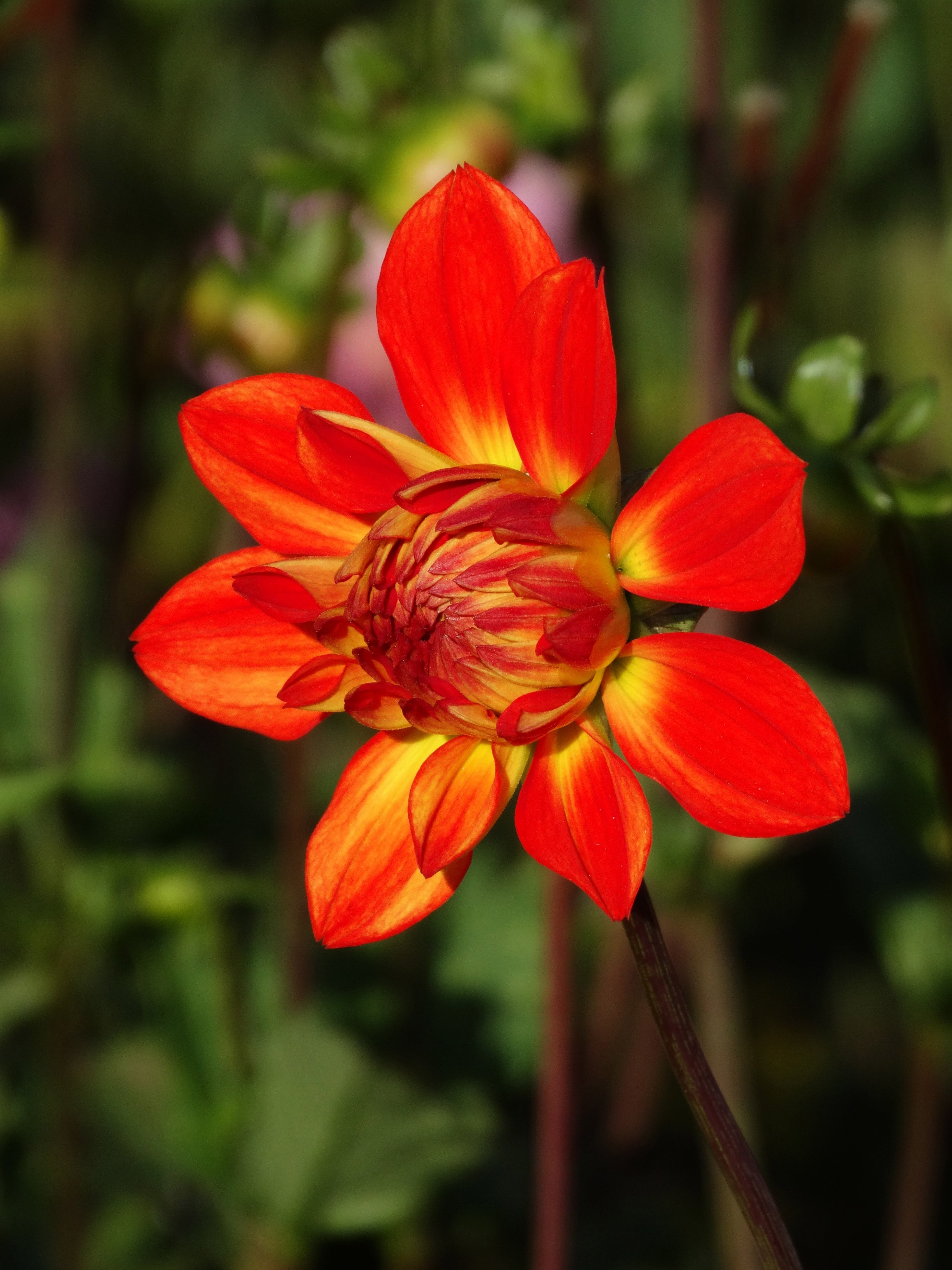 Selective Focus Photography of Red Dahlia Flower in Bloom