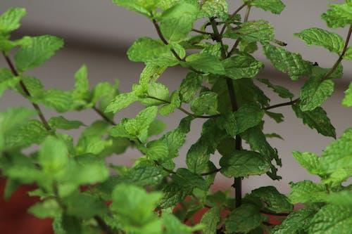 Free stock photo of green, houseplants, mint leaves