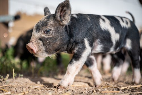 Adorable spotted piglet walking on ground on farmyard near wooden construction at sunny day