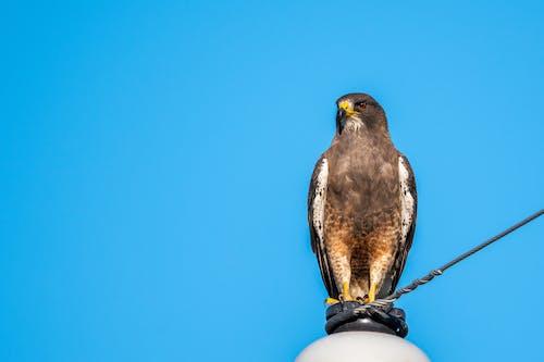 Foto stok gratis binatang, burung, burung elang, di luar rumah
