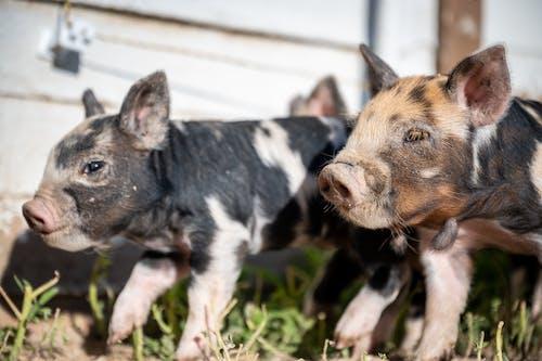 Cute piglets in green grass