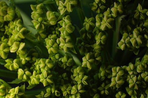 Immagine gratuita di fiore di carota, macro, verde