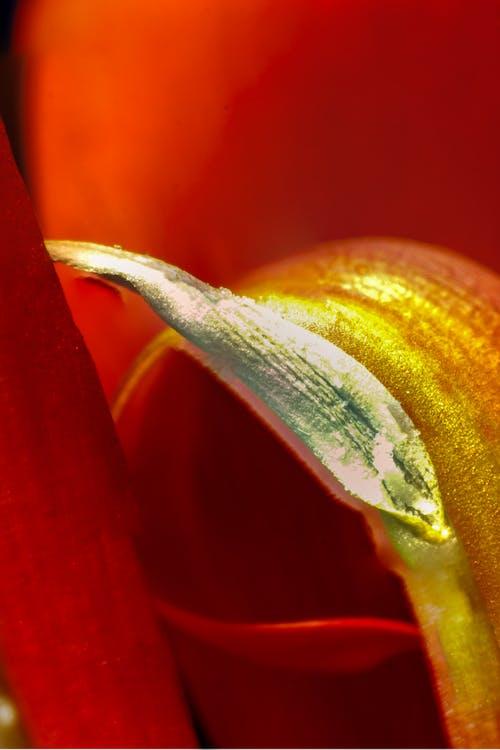 Immagine gratuita di fiore, macro, rosso