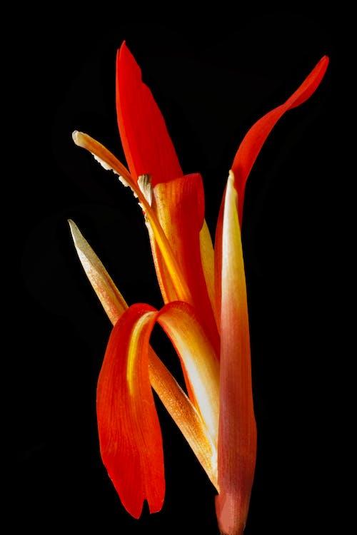 Immagine gratuita di fiore, fiore rosso, rosso