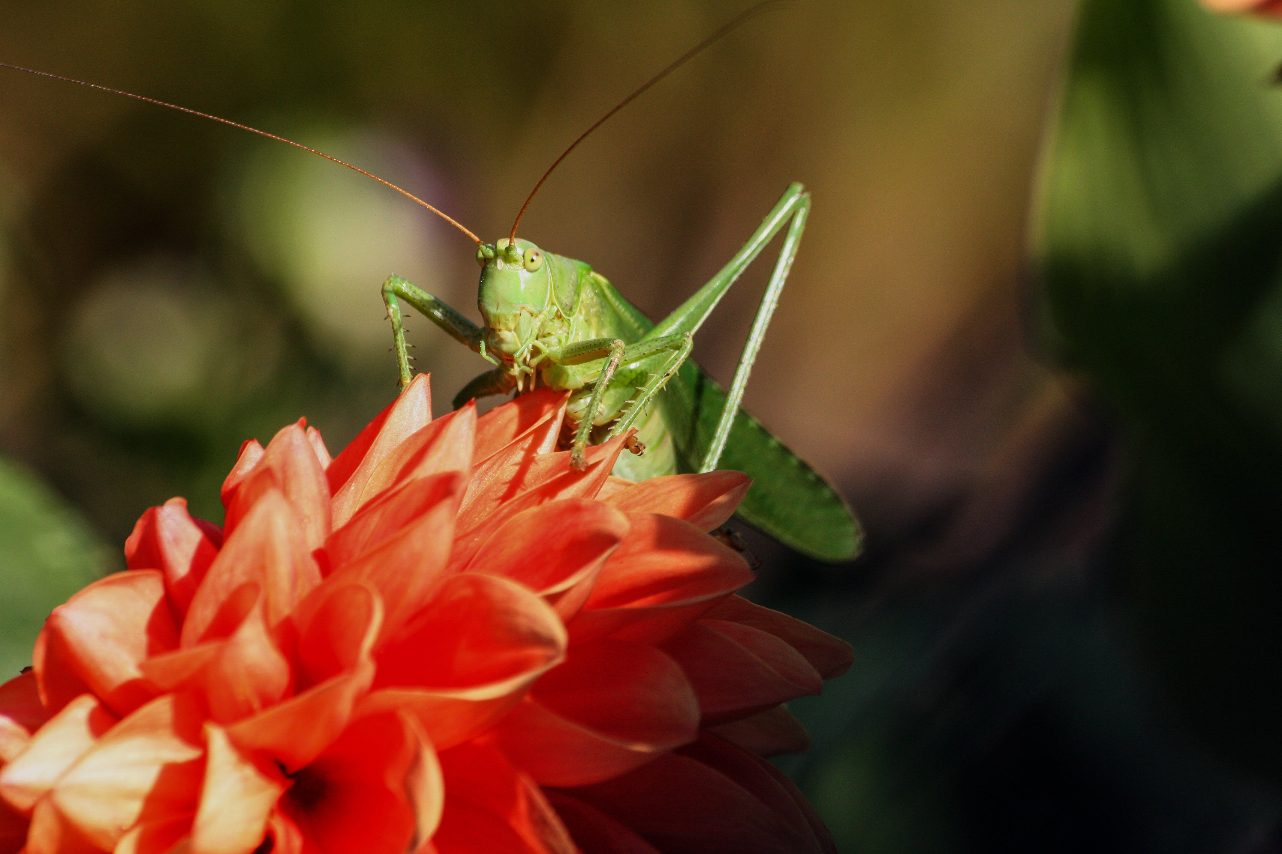 Green Grasshopper on Red Flower during Daytime