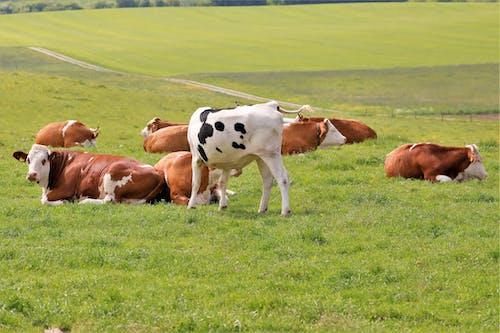 Foto d'estoc gratuïta de braune kuh, kuh, kühe, weide