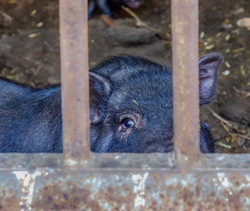 Free stock photo of eye, pig