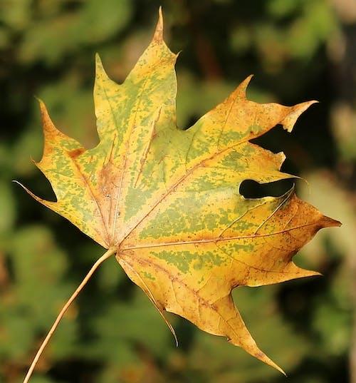 노란색, 단풍잎, 매크로, 자연의 무료 스톡 사진