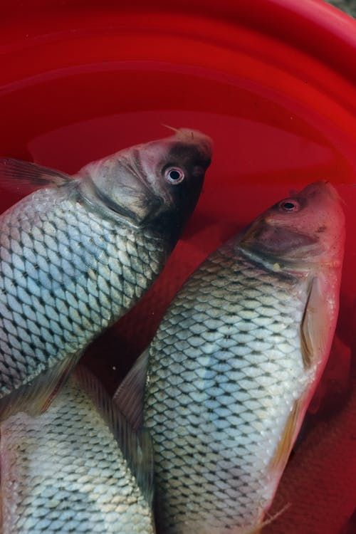 Gray Fish on Red Plastic Container