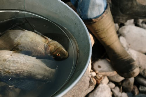 Fish in Round Gray Plastic Bucket