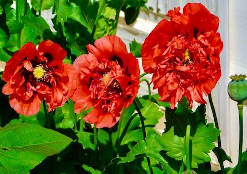 Foto profissional grátis de flores coloridas no jardim, fotografia da natureza