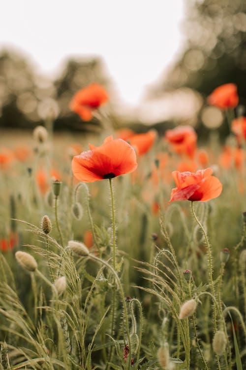 Kostnadsfri bild av blad, blomma, blomning, fält