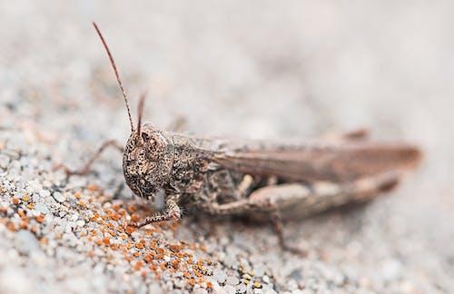 Gratis stockfoto met close-up, insect, macro, sprinkhaan