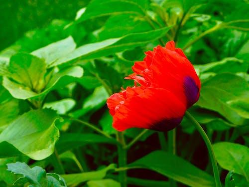 Foto profissional grátis de beleza na natureza, flor vermelha, folhas verdes