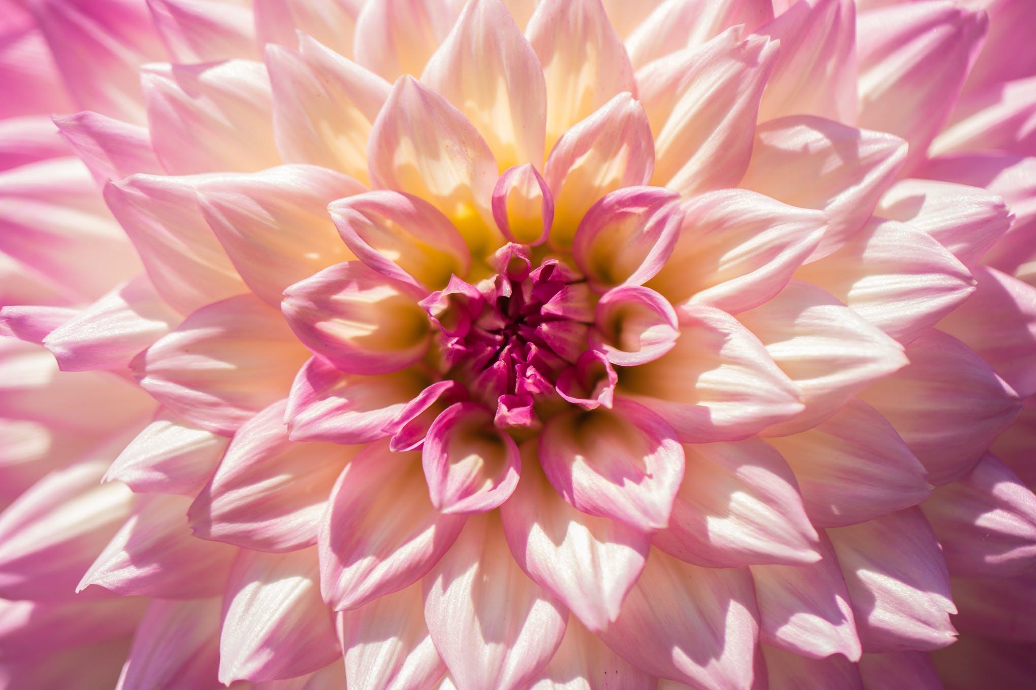 Základová fotografie zdarma na téma chryzantéma, flóra, HD tapeta, jiřiny