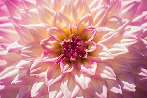 Ảnh lưu trữ miễn phí về cận cảnh, cánh hoa, cây thược dược, hệ thực vật