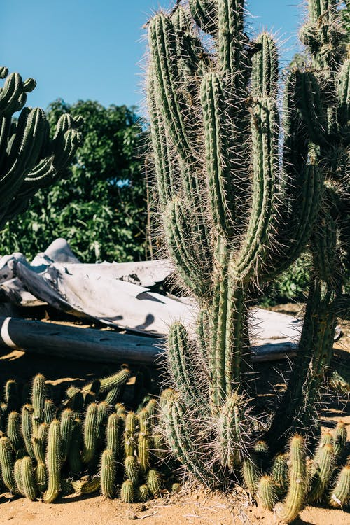 Collection of green cacti with wavy thorny stalks growing on sandy land under blue sky in sunlight
