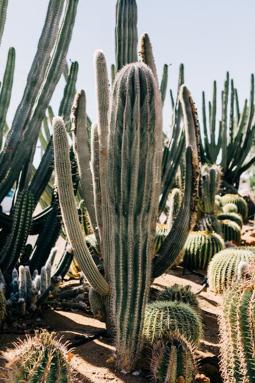 Collection of high green cacti with thick prickly stalks growing on dry terrain on sunny day