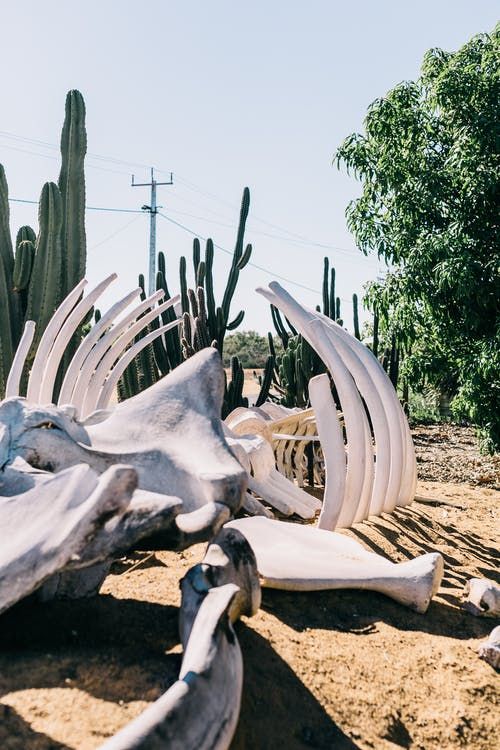 Animal skeleton in arid tropical terrain with cacti