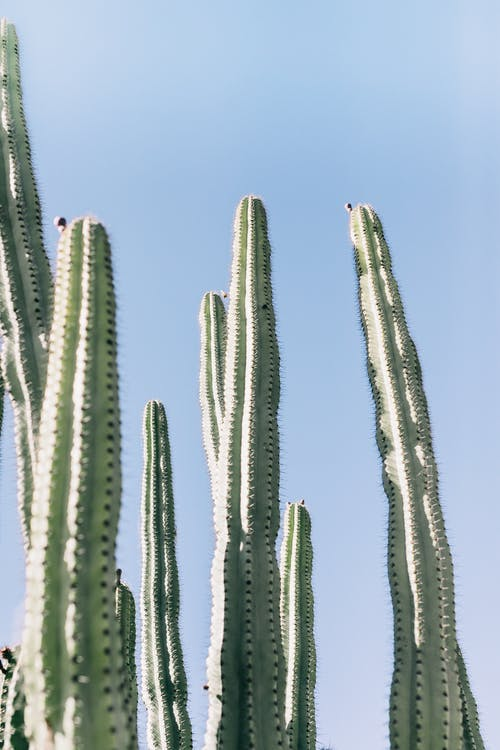 From below of tall exotic plants with sharp needles on green stem against cloudless sky in tropical park