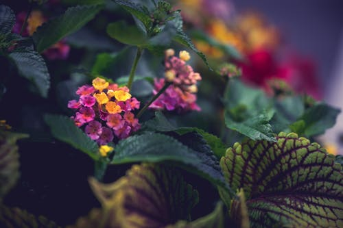 Beautiful blooming plant with yellow and pink little flowers and  with green and purple leaves called coleus