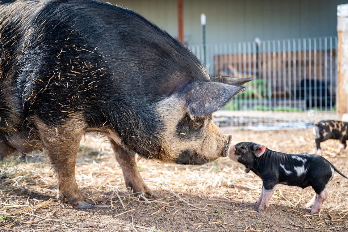 Side view of spotted mini pig and big pig sniffing noses each other and standing on farmyard at daytime