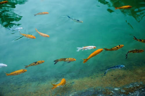 Free stock photo of fish in blue
