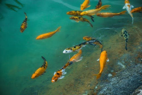 School of Yellow and White Fishes in Water