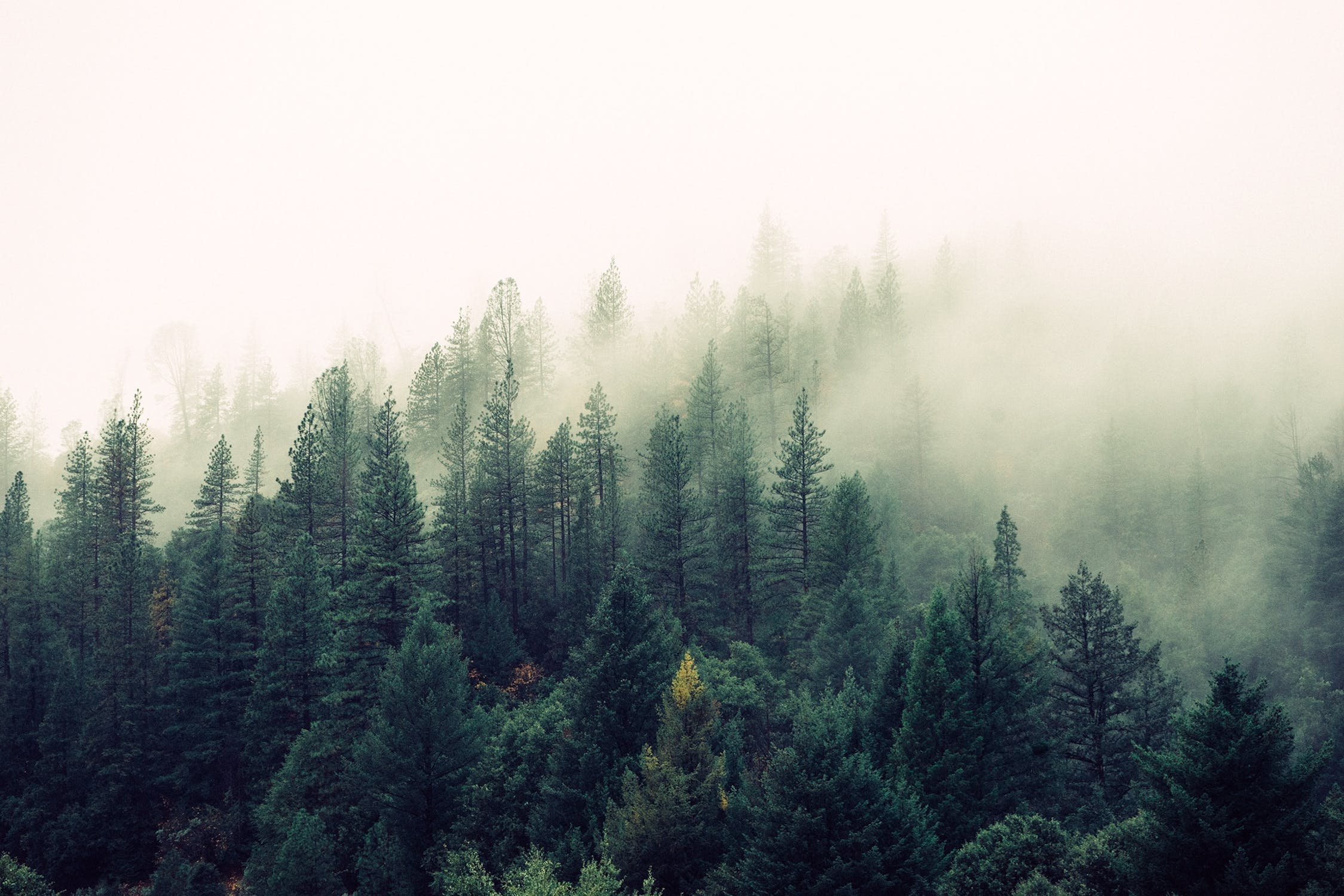 fog rolling over pine trees