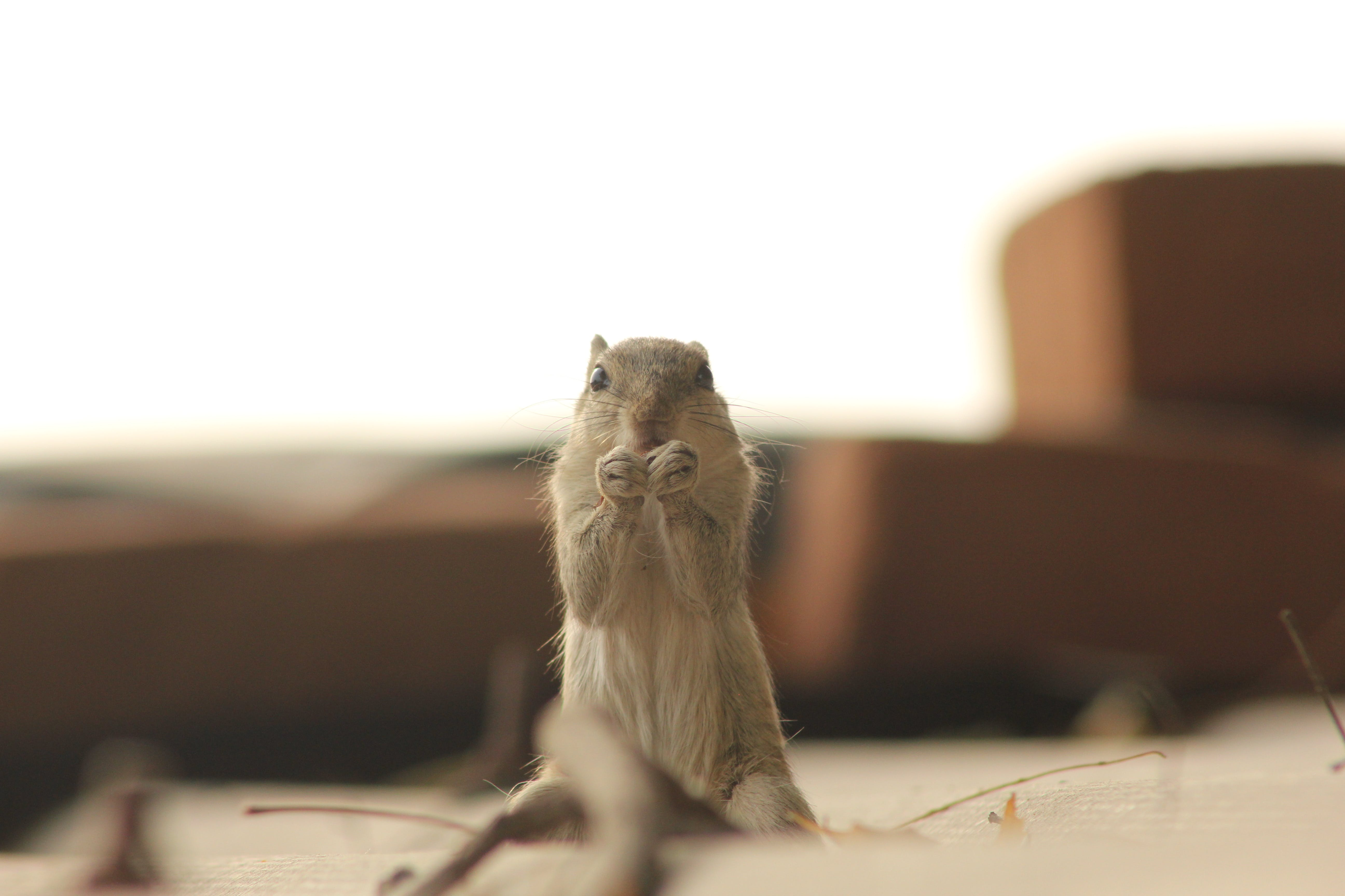 Gray Squirrel Selective Focus Photography
