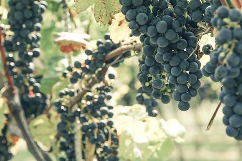 Dark ripe grapes growing in vineyard